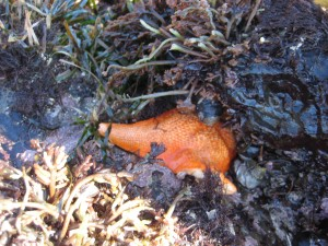 This is an orange starfish we saw